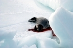 The slaughter of the baby harp seals has been condemned around the world