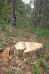 An illegally cut down tree.