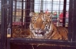 Caged tiger at the circus