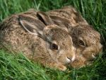Hares in a tranquil setting...